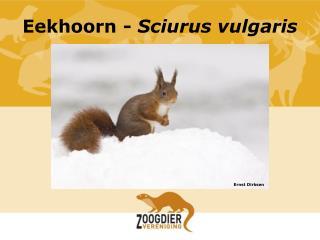 Eekhoorn  -  Sciurus  vulgaris