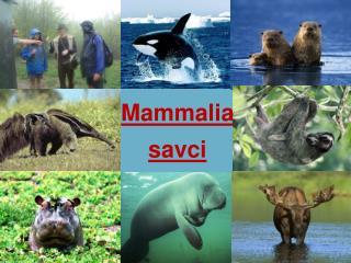 Mammalia savci