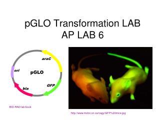 PGLO Transformation LAB AP LAB 6