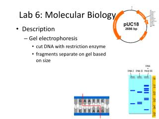 Lab 6: Molecular Biology