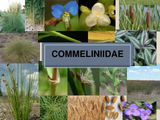 COMMELINIIDAE