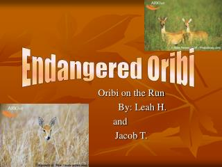 Oribi on the Run           	By: Leah H. and 	Jacob T.