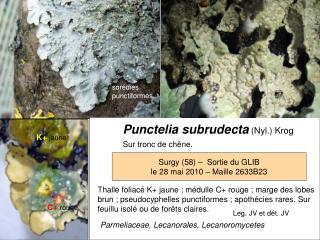 Punctelia subrudecta (Nyl.) Krog