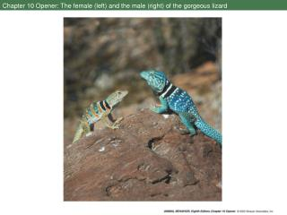 Chapter 10 Opener: The female (left) and the male (right) of the gorgeous lizard