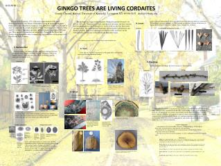 GINKGO TREES ARE LIVING CORDAITES