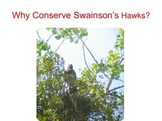 Why Conserve Swainson's  Hawks?