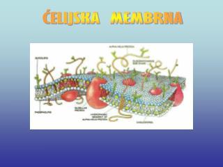 ĆELIJSKA  MEMBRNA