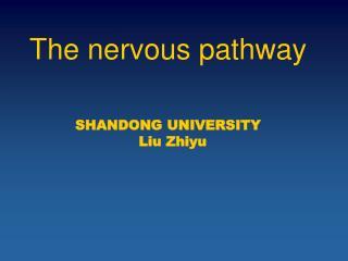 The nervous pathway SHANDONG UNIVERSITY   Liu Zhiyu