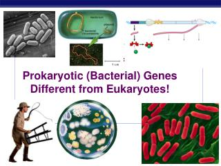 Control of  Prokaryotic (Bacterial) Genes Different from Eukaryotes!
