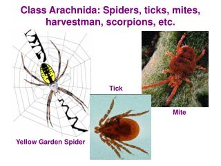 Class Arachnida: Spiders, ticks, mites, harvestman, scorpions, etc.