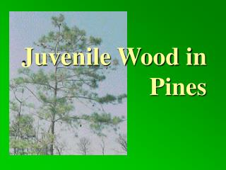 Juvenile Wood in   Pines