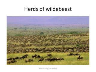 Herds of wildebeest