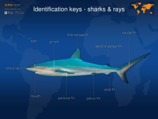 Identification keys - sharks & rays