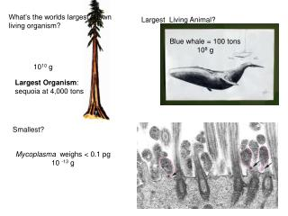 What's the worlds largest known living organism?