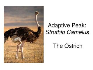 Adaptive Peak: Struthio Camelus  The Ostrich