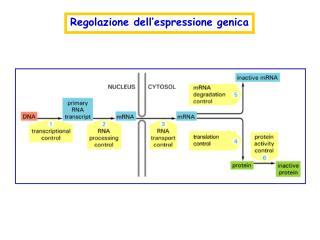 Regolazione dell espressione genica