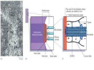 第二节       细胞周期的调控