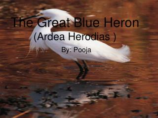 The Great Blue Heron (Ardea Herodias )