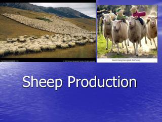 Sheep Production