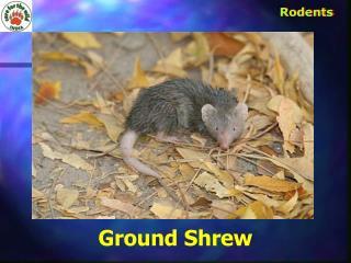 Ground Shrew