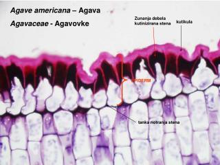 Agave americana –  Agava Agavaceae  - Agavovke