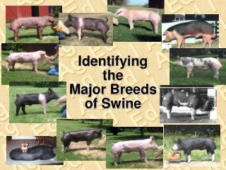 Identifying the Major Breeds of Swine