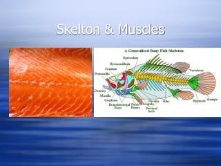 Skelton & Muscles