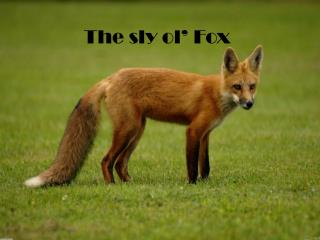 The sly  ol ' Fox