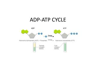 ADP-ATP CYCLE