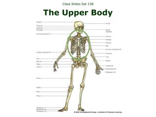 Class Slides Set 15B The Upper Body