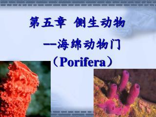 第五章 侧生动物 -- 海绵动物门 ( Porifera )