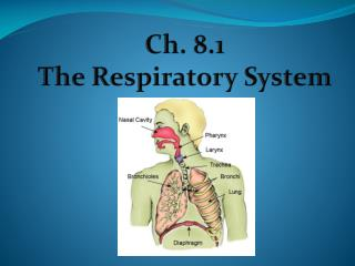 Ch. 8.1 The Respiratory System