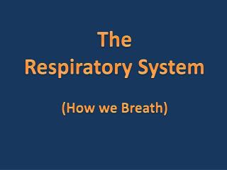 The Respiratory System (How we Breath)