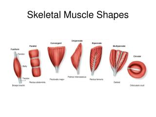 Skeletal Muscle Shapes