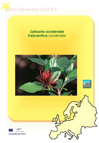 Calicanto occidentale  Calycanthus  occidentalis
