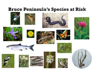 Bruce Peninsula's Species at Risk