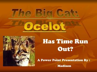 The Big Cat: Ocelot