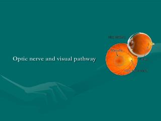 Optic nerve and visual pathway