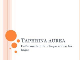 Taphrina  aurea