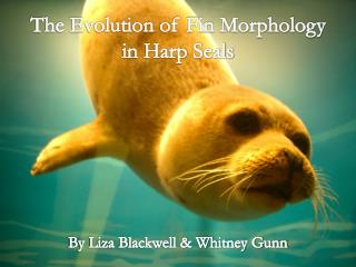 The Evolution of Fin Morphology in Harp Seals