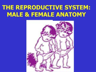 THE REPRODUCTIVE SYSTEM: MALE & FEMALE ANATOMY