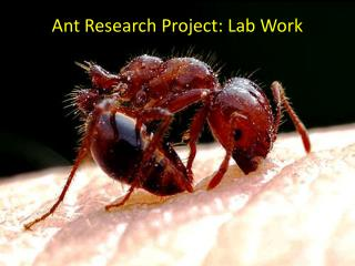 Ant Research Project: Lab Work