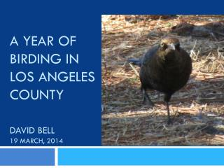 A Year of Birding in Los Angeles County David Bell 19 March, 2014