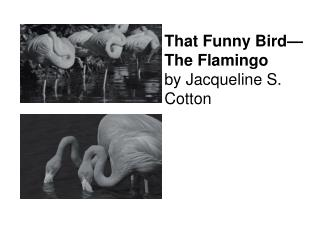 That Funny Bird The Flamingo by Jacqueline S. Cotton