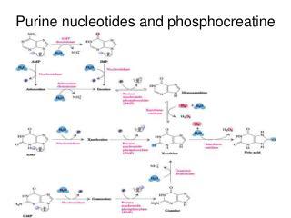 Purine nucleotides and phosphocreatine