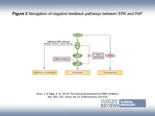 Figure 2  Abrogation of negative feedback pathways between ERK and RAF