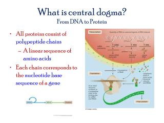 What is central dogma? From DNA to Protein