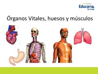 Órganos Vitales, huesos y músculos