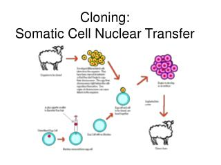 Cloning:  Somatic Cell Nuclear Transfer