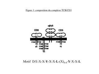 Figure 1: composition du complexe TCR/CD3